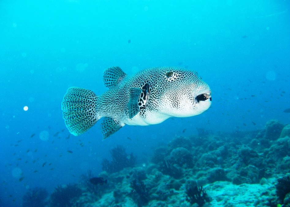 Amazing Facts About The Puffer Fish