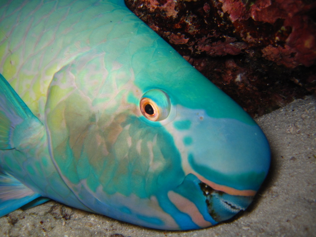 The amazing parrot fish